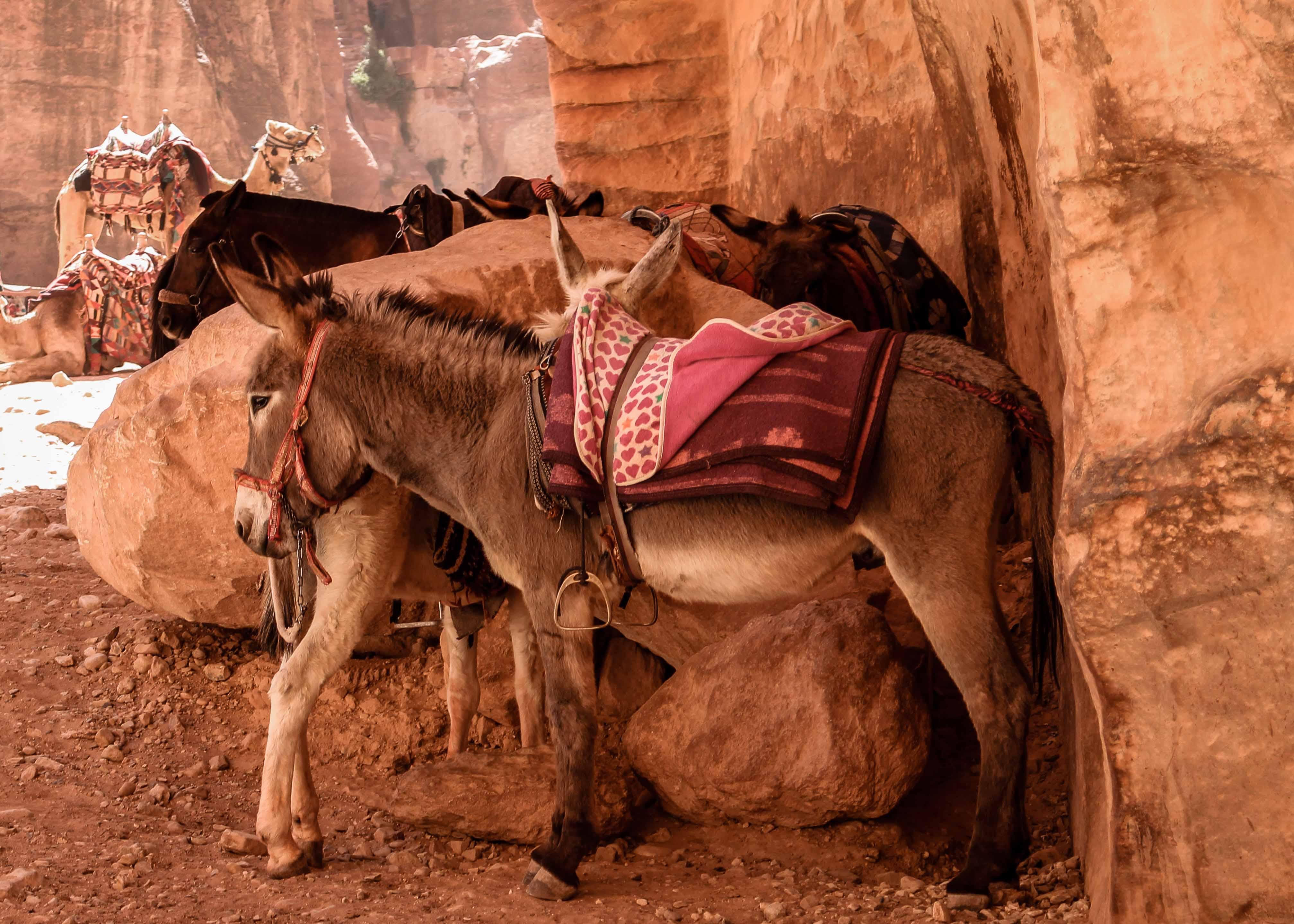 Donkeys Petra