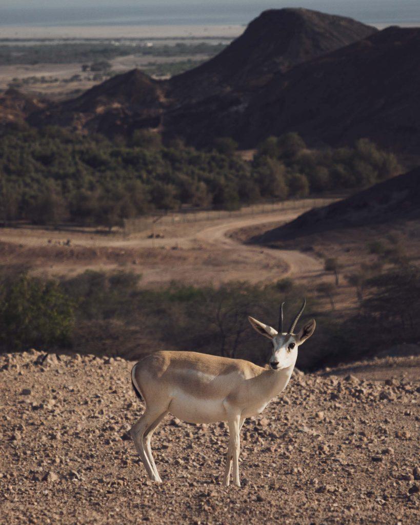 desert island gazelle