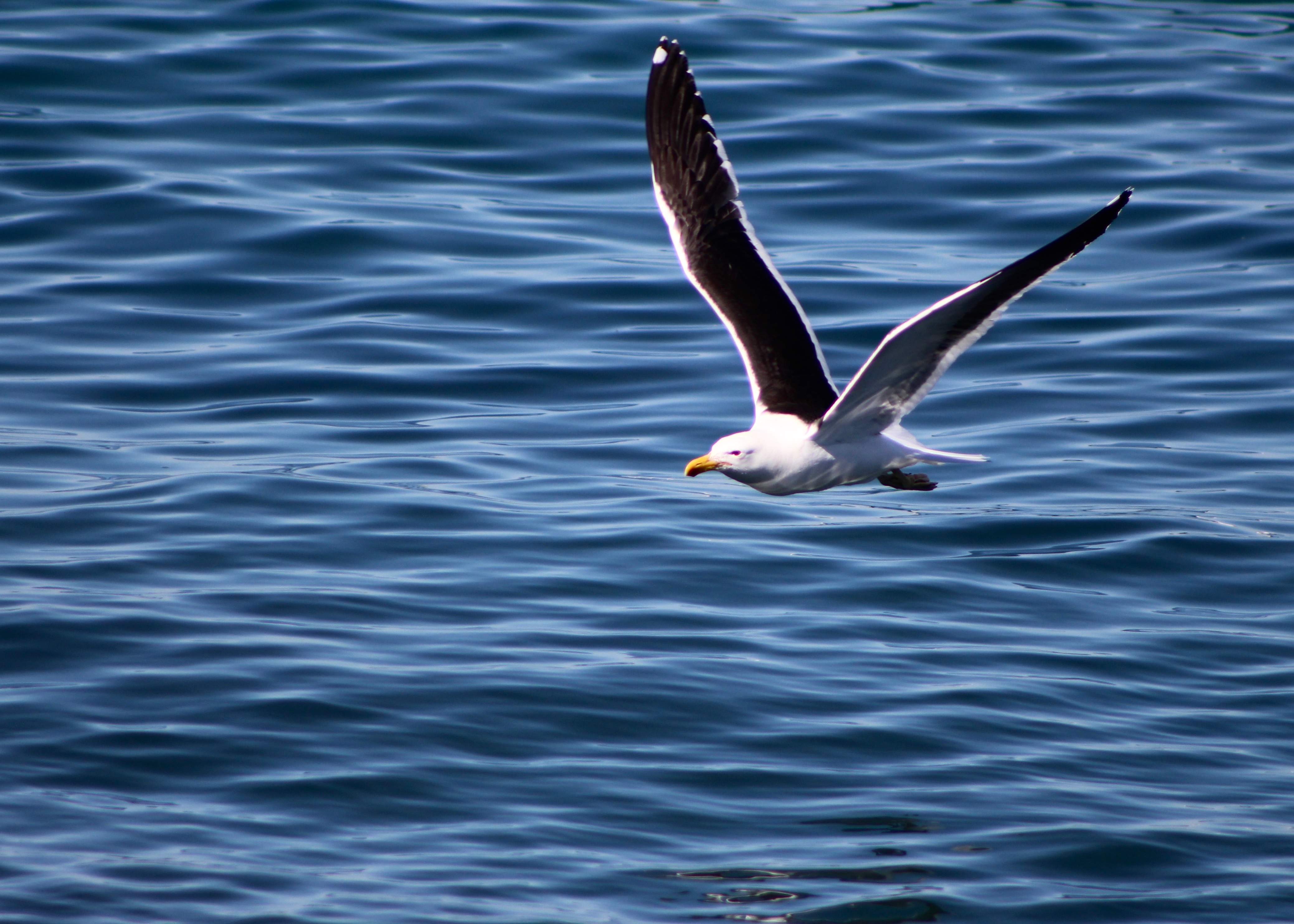 soar sea gull